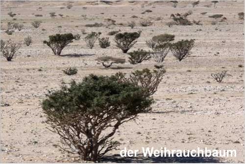 der Weihrauchbaum