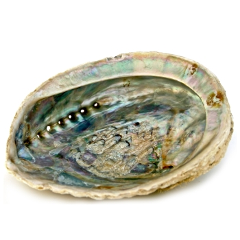 Abalone Muschel, L (Large)